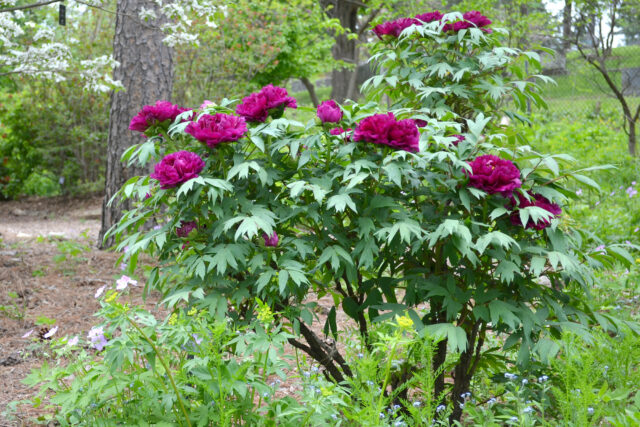 A green tree with purple peony flowers blooming.